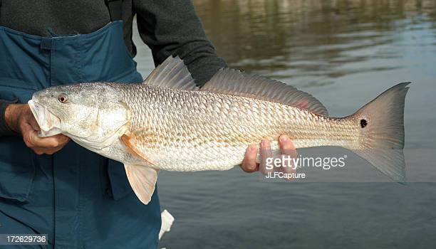 redfish catch - redfish stock photos and pictures