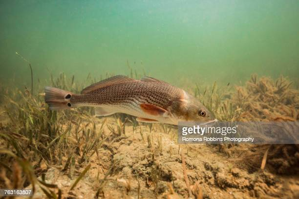 redfish in the gulf of mexico, homosassa, florida, us - redfish stock photos and pictures