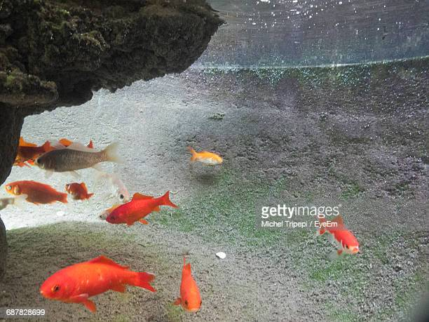 redfish swimming in sea - redfish stock photos and pictures