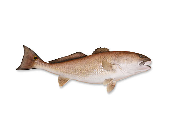 Redfish With Clipping Path Wall Art