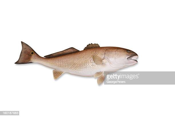 redfish with clipping path - redfish stock photos and pictures