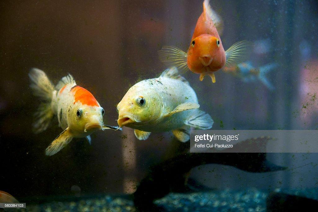 Redfishes : Stock Photo