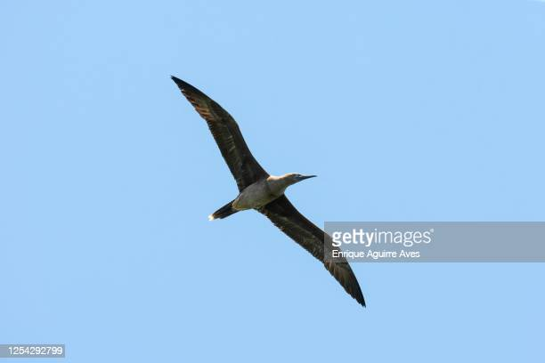 red-footed booby (sula sula) brown phase. halfmoon caye audubon sanctuary, belize. - brown booby stock pictures, royalty-free photos & images