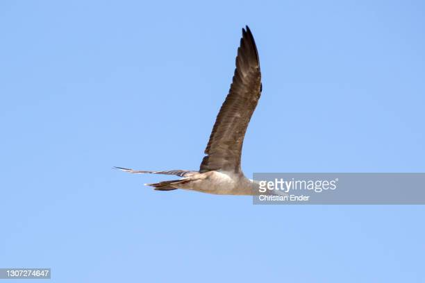 Red-Footed Booby flies accross the sky in Genovesa Island on February 21 in Galapagos, Ecuador. This is a large seabird of the booby family, Sulidae....