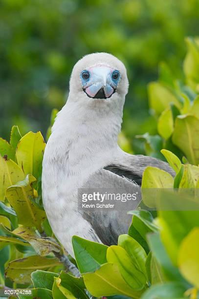 red-footed booby (sula sula websteri) galapagos islands - rotspelikaan stockfoto's en -beelden