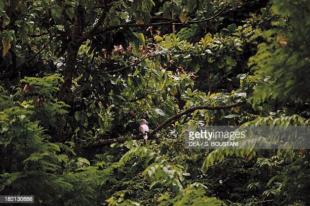 Red-footed Booby in the jungle , Sulidae, Christmas Island, Australia.