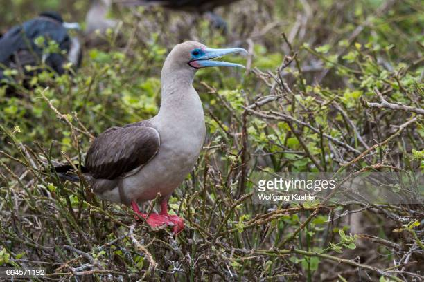 Redfooted booby is perched in a tree on Genovesa Island in the Galapagos Islands Ecuador