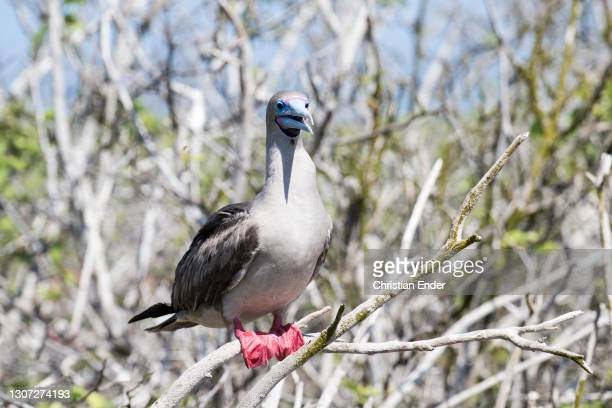 Red-Footed Booby stands on a tree branch in Genovesa Island on February 21 in Galapagos, Ecuador. This is a large seabird of the booby family,...