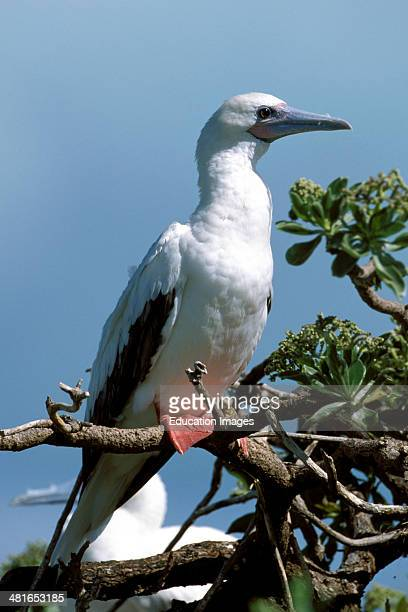 Redfooted Booby Sula sula on the tree Midway atoll approximately 750 pairs breed only on Eastern Island On the hunt for fish they fly far out to sea...