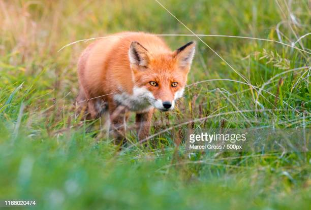 redfox on the hunt in shiretoko national park, hokkaido - red fox stock pictures, royalty-free photos & images