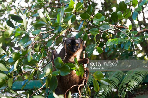 red-fronted lemur -eulemur rufifrons-, in green foliage, ranomafana national park, madagascar - ranomafana national park stock photos and pictures
