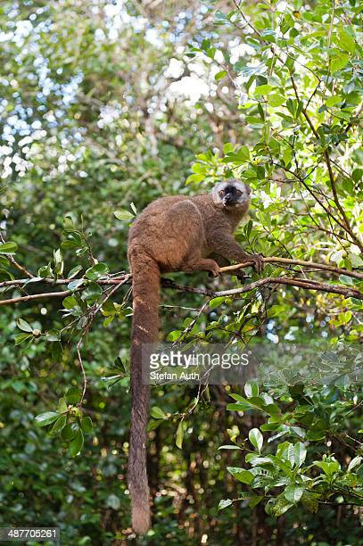 red-fronted lemur -eulemur rufifrons-, with a long drooping tail, ranomafana national park, madagascar - ranomafana national park stock photos and pictures