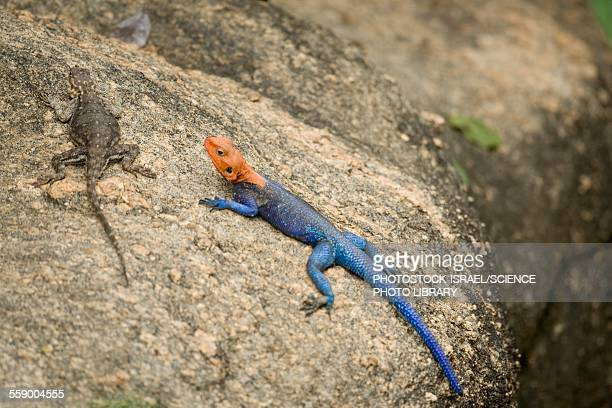 red-headed rock agama - photostock stock photos and pictures