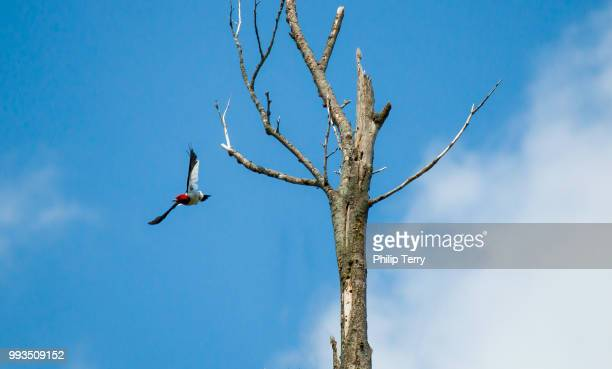 Redheaded Woodpecker Diving