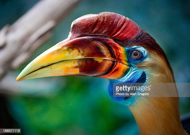 red-knobbed hornbill. my new favorite bird in prof - beak stock pictures, royalty-free photos & images