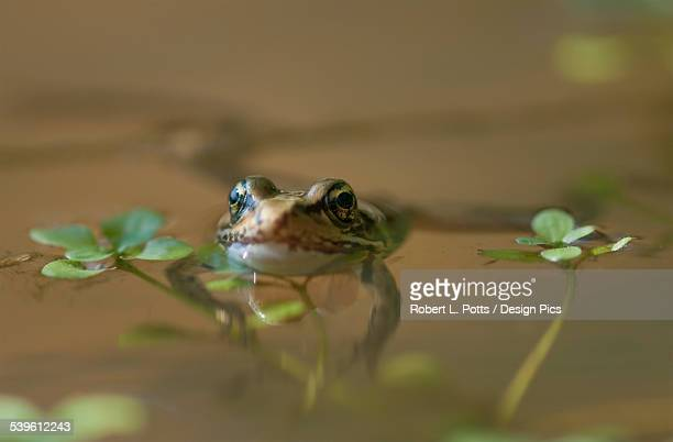 A Red-Legged Frog Floats In A Pond