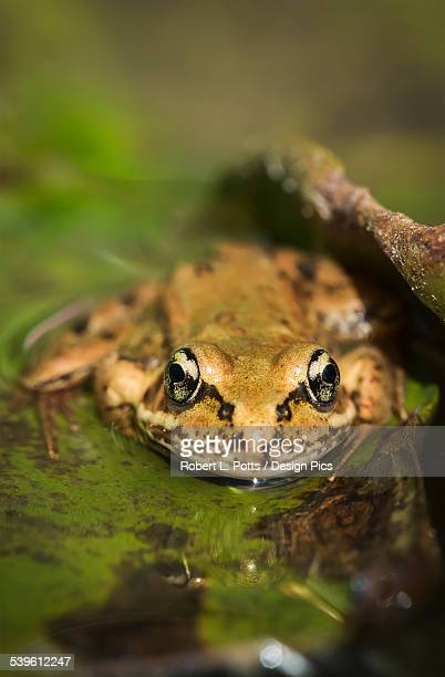 A Red-Legged Frog Rests On A Lily Pad