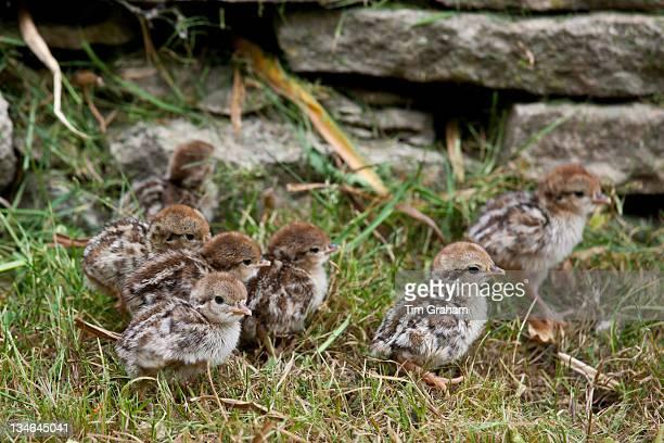 Red-Legged Partridge newborn chicks Alectoris rufa, The Cotswolds, UK