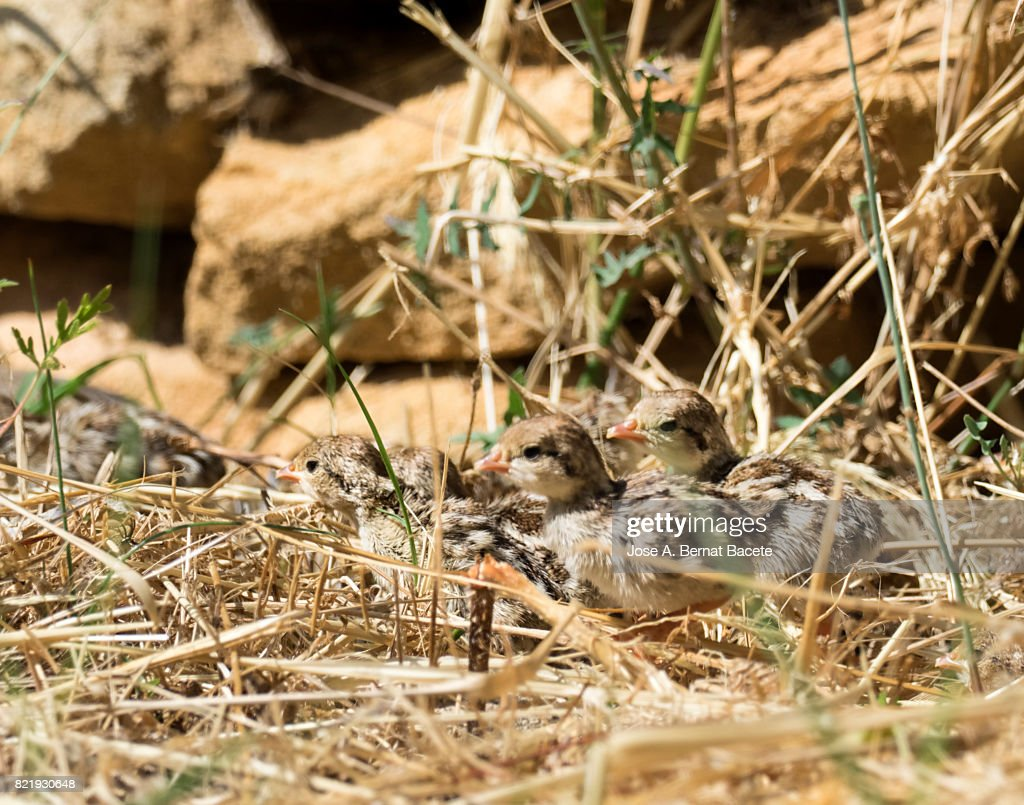 A red-legged partridges (Alectoris rufa),  chicks in their nest in the newborn field, Spain : Stock Photo