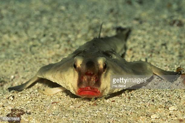 Red-Lipped Batfish (Ogcocephalus darwini) Galapagos Islands, Equador
