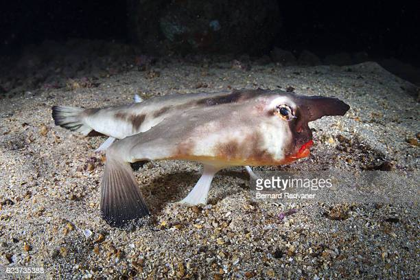 Red-lipped batfish lying on the bottom