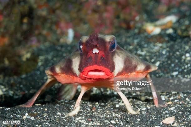 Redlipped Batfish Ogcocephalus darwini Cabo Douglas Galapagos Fernandina Island Ecuador