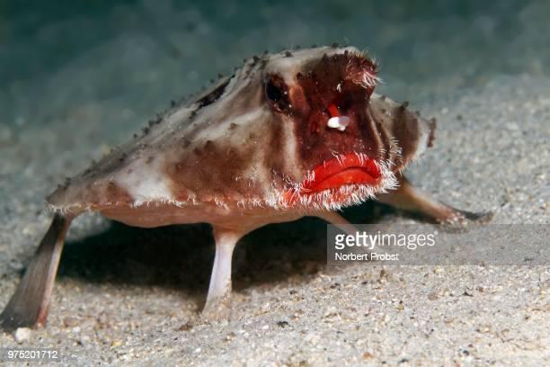 Red-lipped batfish or Galapagos batfish, (Ogcocephalus darwini), Cocos Island, Costa Rica