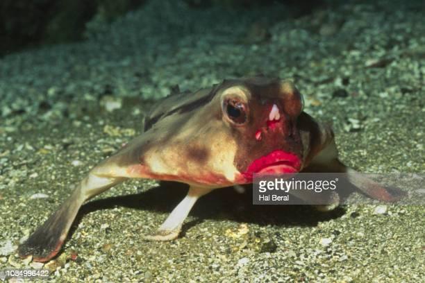 red-lipped batfish - アンコウ ストックフォトと画像