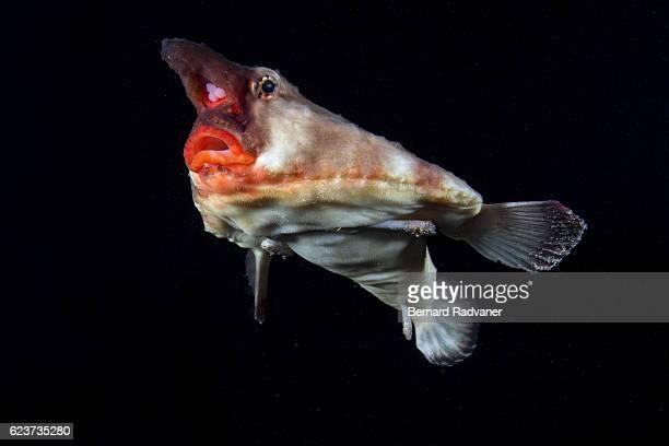 red-lipped batfish swimming - アンコウ ストックフォトと画像