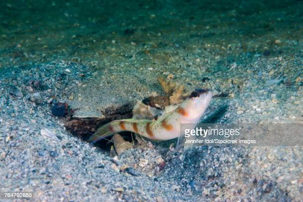 Red-margin shrimpgoby in Malaysia.