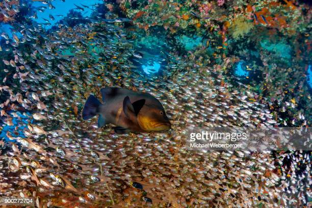 Redmouth Grouper (Aethaloperca rogaa) with Pempherid (Pempheridae) Chrisoula K., Container Ship, Shaab Abu Nuhas, Red Sea, Egypt