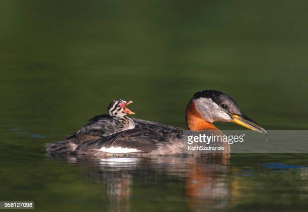 Red-necked Grebe and Chick
