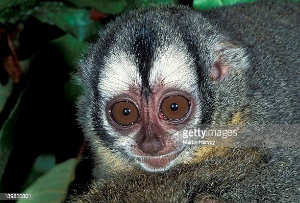 Red-necked Night Monkey, Aotus nigriceps, found in Bolivia, Brazil, Paraguay and Peru