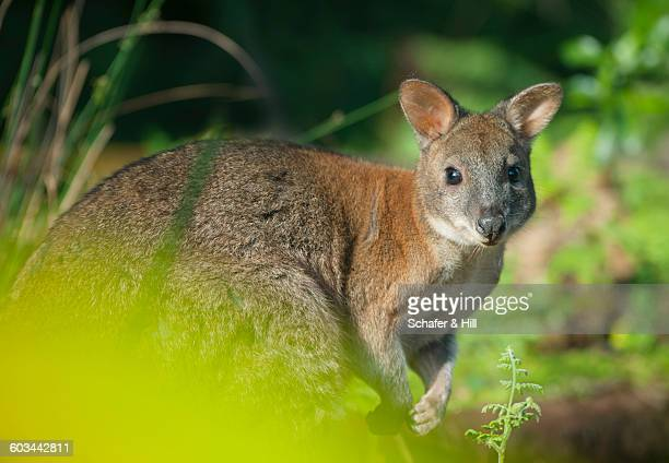 Red-necked Pademelon, Australia