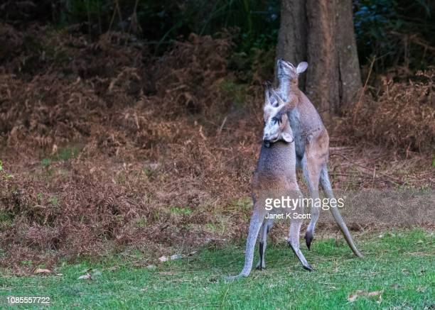 red-necked wallabies at play - janet scott stock pictures, royalty-free photos & images