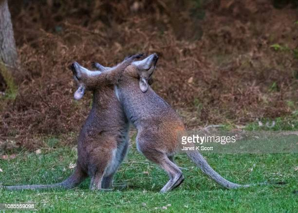 Red-necked Wallabies at play