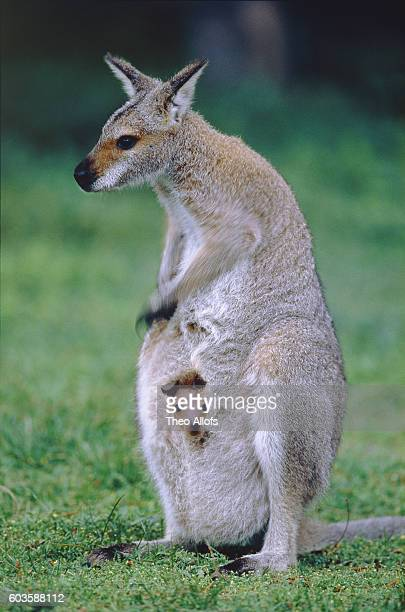 Red-necked wallaby with joey in pouch