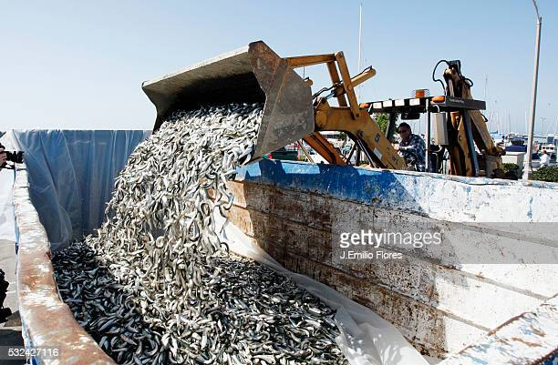 Redondo Beach CA 030811 Thousands of dead fish floated around the King Harbor Marina in Redondo Beach Experts believe the fish believed to be anchovy...