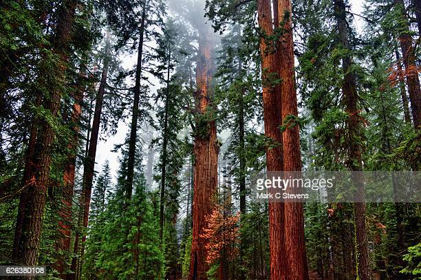 reds and greens - sequoia national park stock pictures, royalty-free photos & images