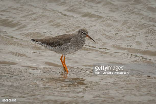 redshank on the shore - wader bird stock photos and pictures