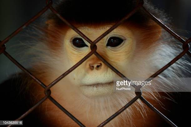 A Redshanked Douc inside a cage at Dusit Zoo in Bangkok Thailand 30 September 2018 Dusit Zoo is Thailand's first public zoo opened 80 years ago on 18...