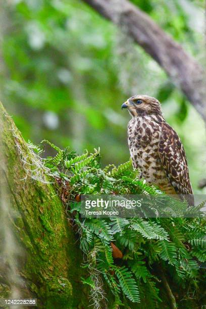 redshoulder hawk in live oak - gulf coast states stock pictures, royalty-free photos & images