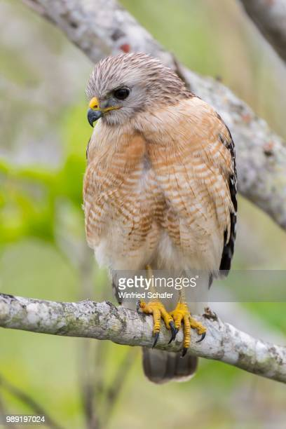 red-shouldered hawk (buteo lineatus), anhinga trail, everglades national park, florida, usa - anhinga_trail stock pictures, royalty-free photos & images