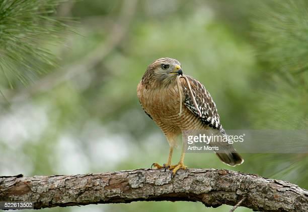 Red-Shouldered Hawk Eating Snake