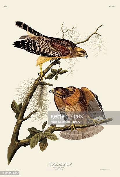 RedShouldered Hawk Plate 56 in John James Audubon's Birds of America late 1830s