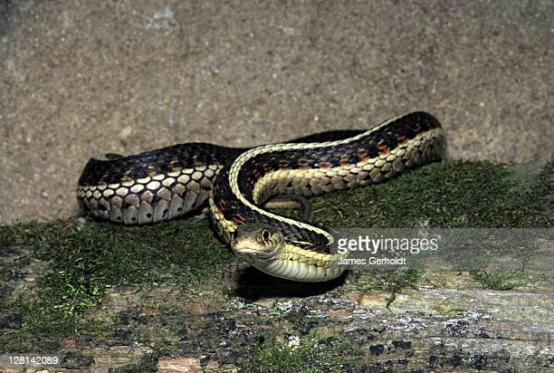 red-sided garter snake, thamnophis sirtalis parietalis, yellow medicine county, minnesota, usa - squamata stock photos and pictures