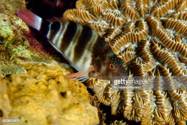 redspotted hawkfish. - hawkfish stock pictures, royalty-free photos & images