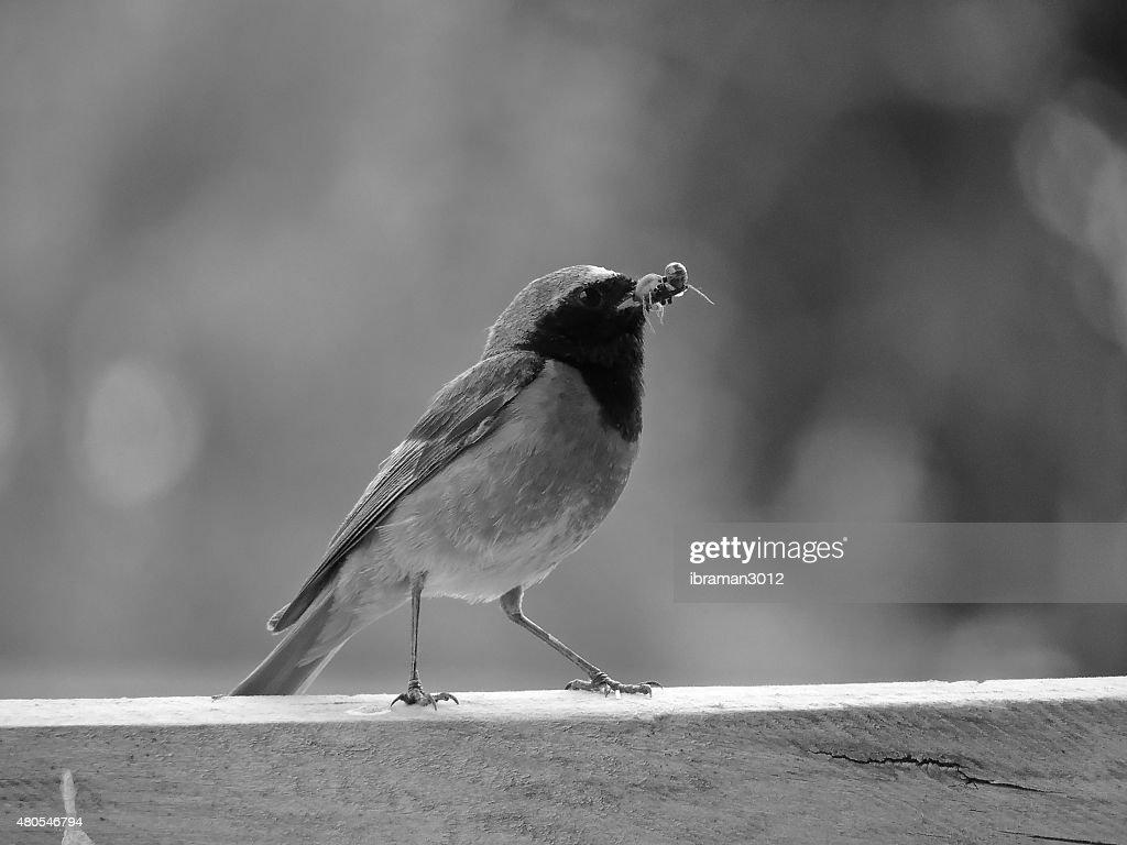 Redstart (male) : Stock Photo