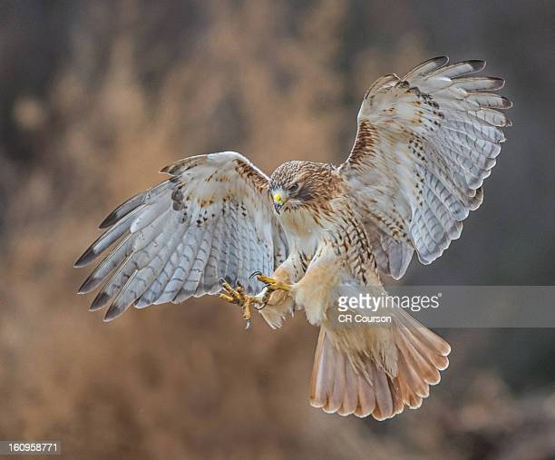 red-tail landing - red tailed hawk stock photos and pictures