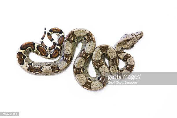 red-tailed boa, boa constrictor - boa constrictor stock photos and pictures